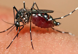 Evidence suggests that Zika virus is spread both by the Aedes mosquito and through sexual contact. © Muhammad Mahdi Karim